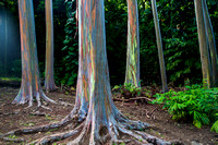 Painted Eucalyptus I