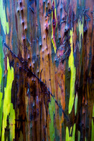 Eucalyptus Abstract II